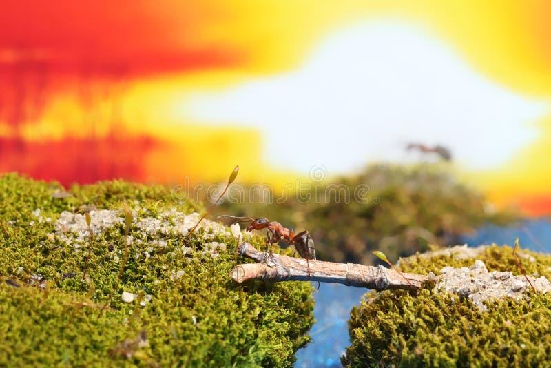 Το κόκκινο μυρμήγκι διασχίζει τον ποταμό σε ένα κούτσουρο στοκ φωτογραφία