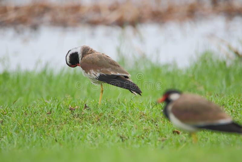 Το κόκκινο το πουλί αργυροπουλιών στοκ φωτογραφία με δικαίωμα ελεύθερης χρήσης