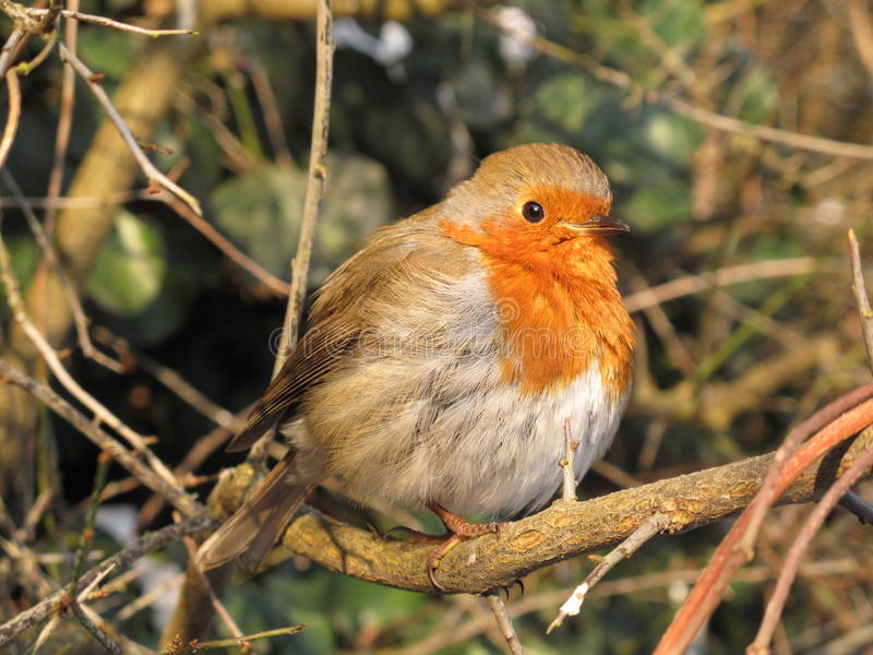 Το κόκκινο στήθος της Robin με ξεφγμένος επάνω επενδύει με φτερά τη συνεδρίαση σε έναν κλάδο μια κρύα ημέρα στοκ εικόνα με δικαίωμα ελεύθερης χρήσης
