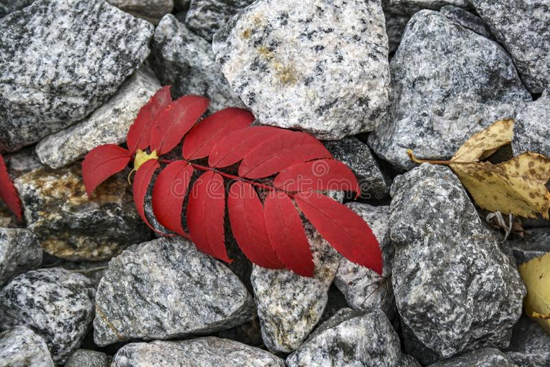 Το κόκκινο φύλλο φθινοπώρου βρίσκεται στις γκρίζες πέτρες στοκ εικόνες με δικαίωμα ελεύθερης χρήσης