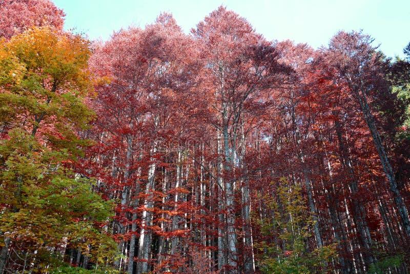 Το κόκκινο χρώμα των δέντρων το φθινόπωρο στοκ φωτογραφία