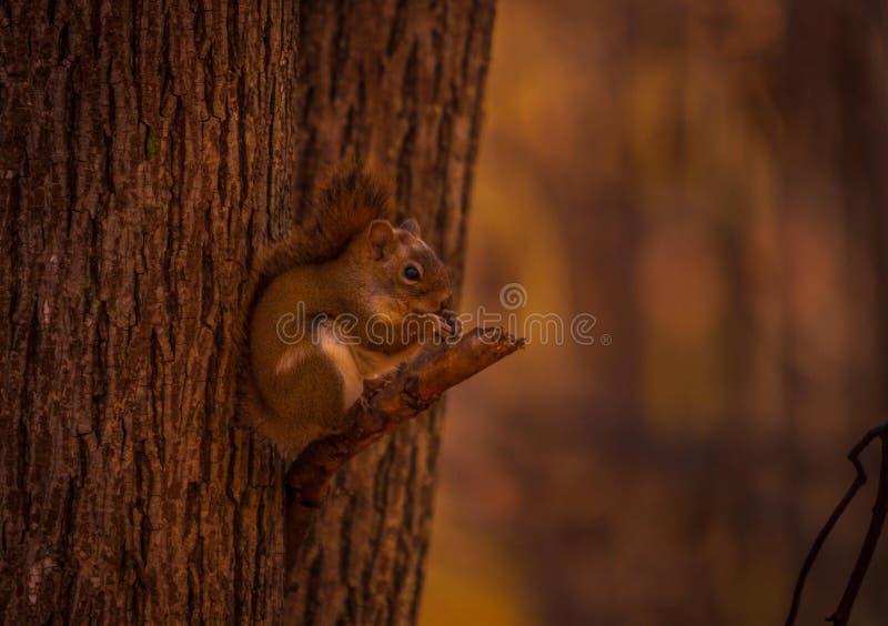 Το κόκκινο squirl που έχει ένα πρόχειρο φαγητό πηγαίνει στοκ φωτογραφία