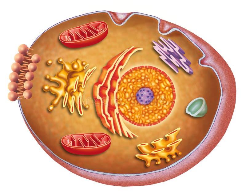 Το κύτταρο ελεύθερη απεικόνιση δικαιώματος