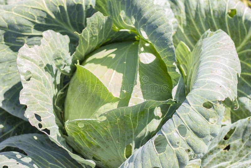 Το λάχανο αυξάνεται στον κήπο Θόριο WI υποβάθρου μια μεγάλη κινηματογράφηση σε πρώτο πλάνο λάχανων στοκ εικόνα