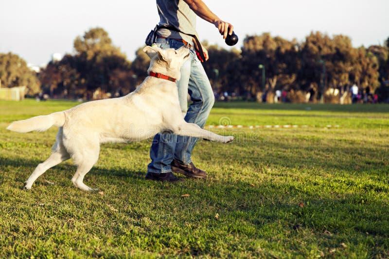 Το Λαμπραντόρ και ο εκπαιδευτής με το σκυλί μασούν το παιχνίδι στο πάρκο στοκ εικόνα με δικαίωμα ελεύθερης χρήσης