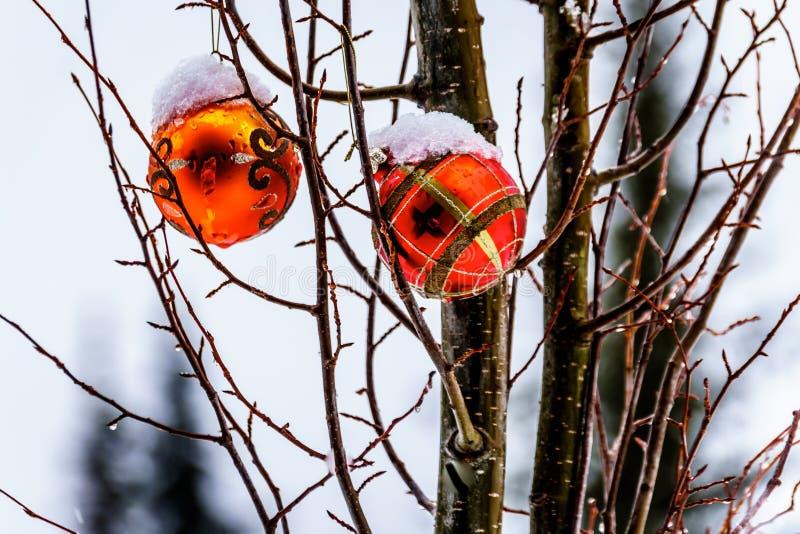 Το λειώνοντας χιόνι που καλύπτει την κόκκινη διακόσμηση Χριστουγέννων που κρεμά στο δέντρο διακλαδίζεται στοκ φωτογραφία με δικαίωμα ελεύθερης χρήσης