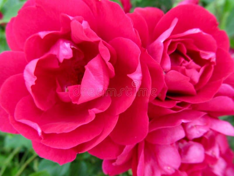 Το λεπτό κομψό floral υπόβαθρο με τρεις όμορφο καυτό ροδανιλίνης αυξήθηκε κινηματογράφηση σε πρώτο πλάνο λουλουδιών στοκ φωτογραφία