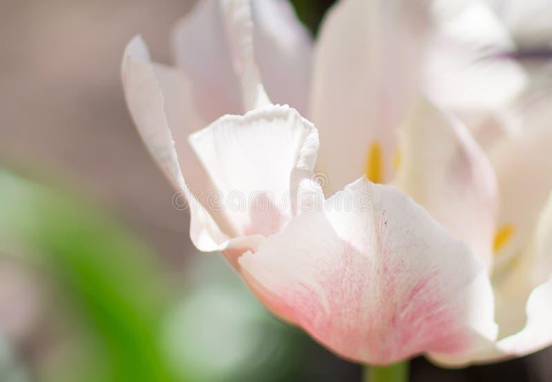 Το λευκό και αυξήθηκε λουλούδι τουλιπών στοκ φωτογραφία με δικαίωμα ελεύθερης χρήσης