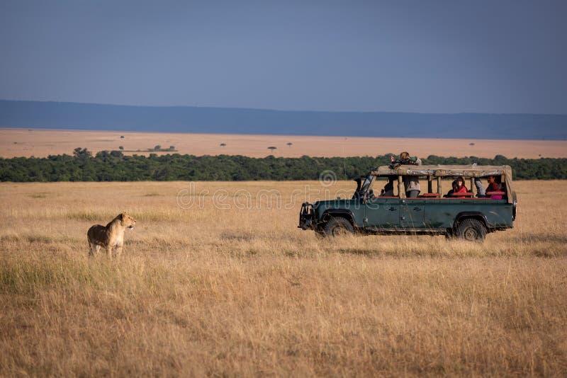 Το λιοντάρι στέκεται στους φωτογράφους στο φορτηγό στοκ εικόνες με δικαίωμα ελεύθερης χρήσης