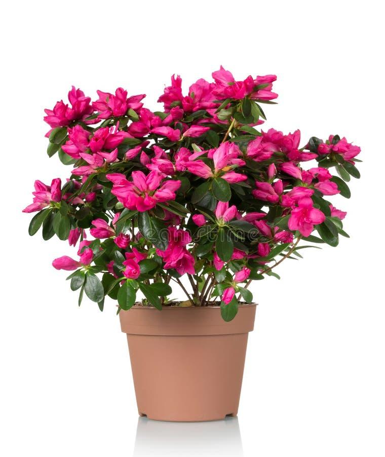 Το λουλούδι αζαλεών είναι στο δοχείο Φωτεινά όμορφα ρόδινα λουλούδια που απομονώνονται στο λευκό στοκ φωτογραφίες με δικαίωμα ελεύθερης χρήσης