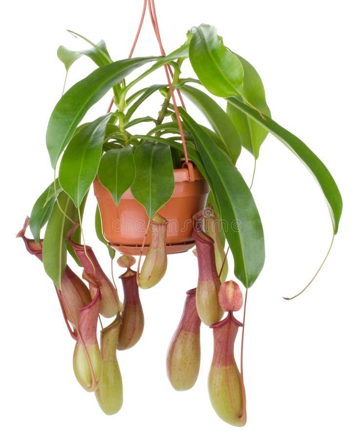 το λουλούδι ανθίζει nepenthes τ& στοκ εικόνες