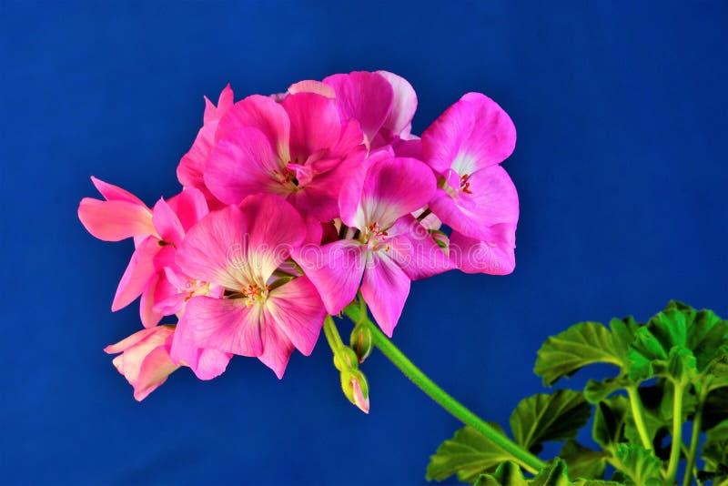 Το λουλούδι γερανιών σε ένα φωτεινό υπόβαθρο μπλε ουρανού, συμβολίζει την αγάπη και το πάθος, είναι επίσης καλός αρωγός για ένα δ στοκ φωτογραφία με δικαίωμα ελεύθερης χρήσης