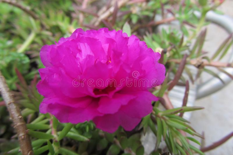 Το λουλούδι είναι σύνολο ομορφιάς στον κήπο μου στοκ εικόνες