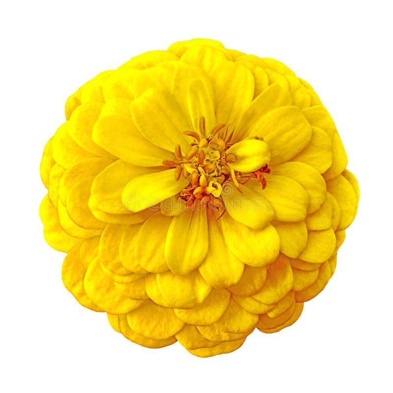 Το λουλούδι η κίτρινη καφετιά Zinnia απομόνωσε στο άσπρο υπόβαθρο Κινηματογράφηση σε πρώτο πλάνο στοκ εικόνα