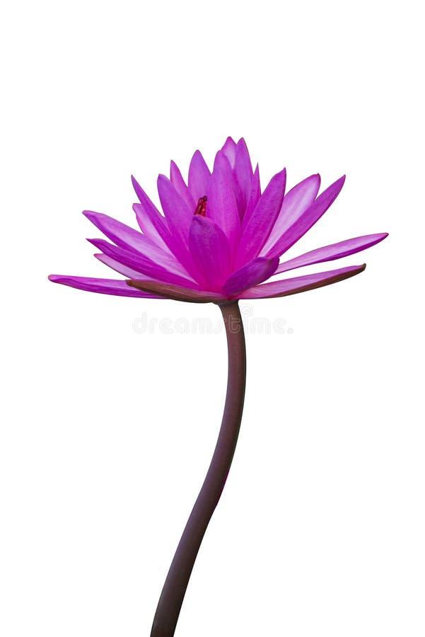 Το λουλούδι λωτού αντιπροσωπεύει το σύμβολο του βουδισμού και μπορεί να χρησιμοποιηθεί για να λατρεψει το Θεό στοκ εικόνα