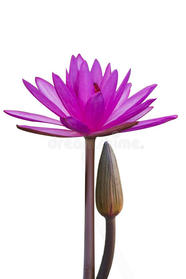 Το λουλούδι λωτού αντιπροσωπεύει το σύμβολο του βουδισμού και μπορεί να χρησιμοποιηθεί για να λατρεψει το Θεό στοκ εικόνες με δικαίωμα ελεύθερης χρήσης