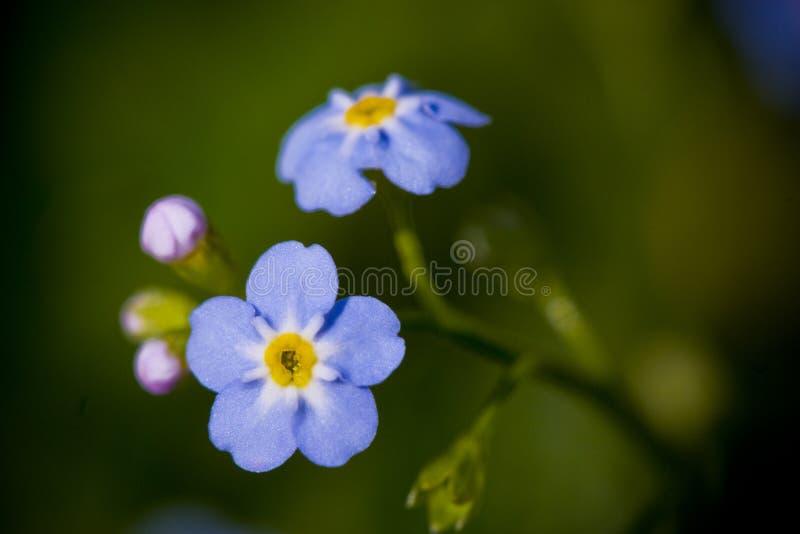 το λουλούδι με ξεχνά όχι στοκ φωτογραφίες με δικαίωμα ελεύθερης χρήσης