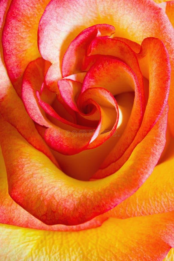Το λουλούδι μιας όμορφης άνθισης πολύχρωμης αυξήθηκε στοκ εικόνες