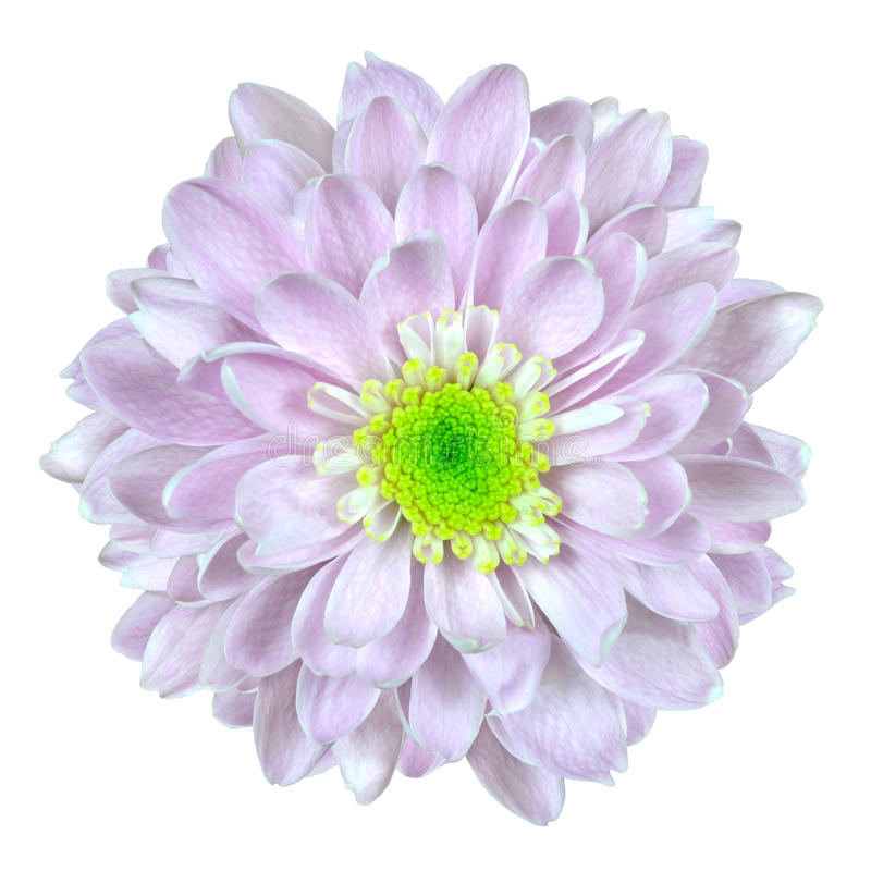 το λουλούδι νταλιών απομόνωσε το ρόδινο λευκό στοκ εικόνες