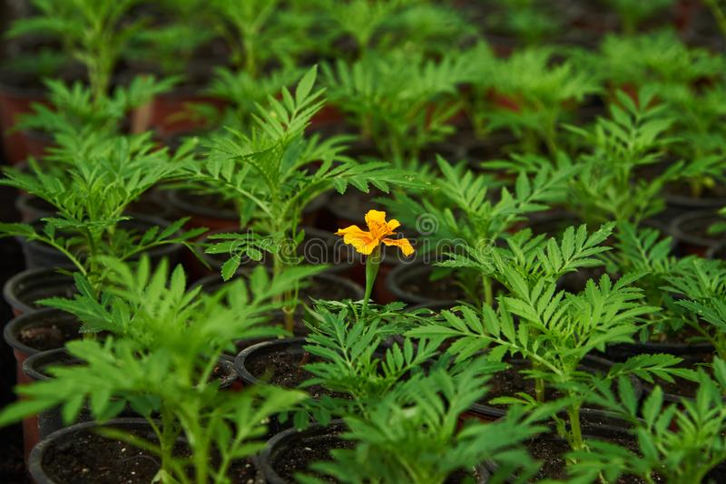 Το λουλούδι που άνθισε πριν από όλους στοκ φωτογραφία με δικαίωμα ελεύθερης χρήσης