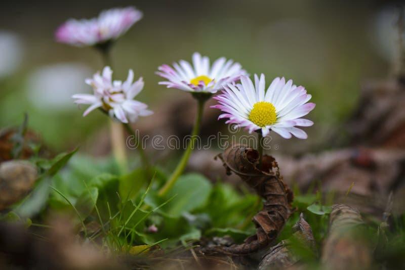 Το λουλούδι της Daisy στον τομέα με το θάνατο βγάζει φύλλα, κλείνει επάνω στοκ φωτογραφίες