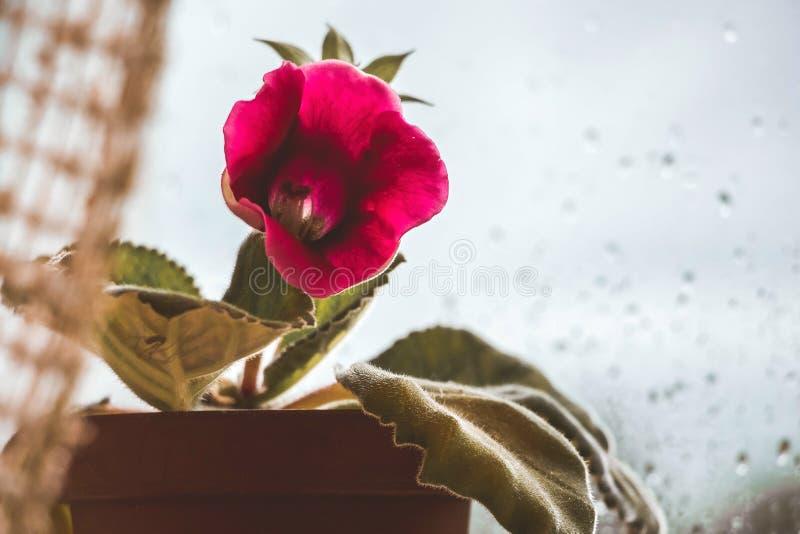 Το λουλούδι του gloxinia στο παράθυρο κατά τη διάρκεια της βροχής δημιουργεί ένα cosiness ι στοκ εικόνες