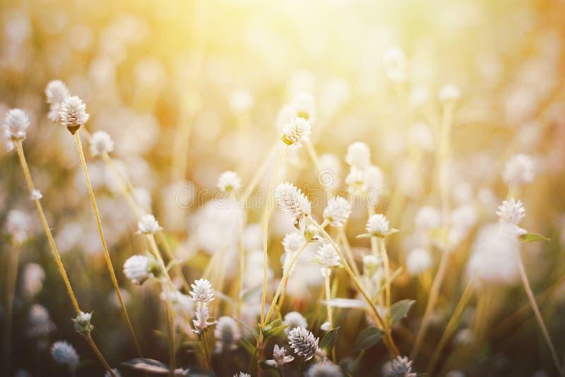 Το λουλούδι χλόης, κλείνει επάνω τη μαλακή χλόη λουλουδιών εστίασης λίγο άγρια στη θερμή εκλεκτής ποιότητας φωτογραφία τόνου υποβ στοκ φωτογραφίες