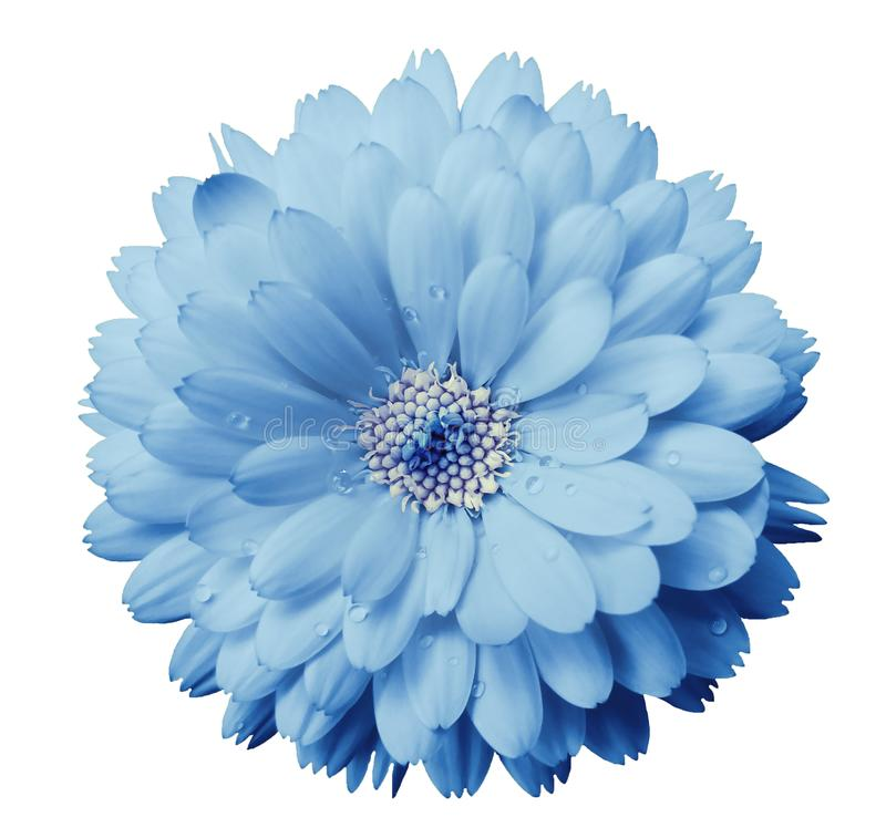 Το λουλούδι Calendula ανοικτό μπλε με τη δροσιά σε ένα λευκό απομόνωσε το υπόβαθρο με το ψαλίδισμα της πορείας closeup στοκ εικόνα