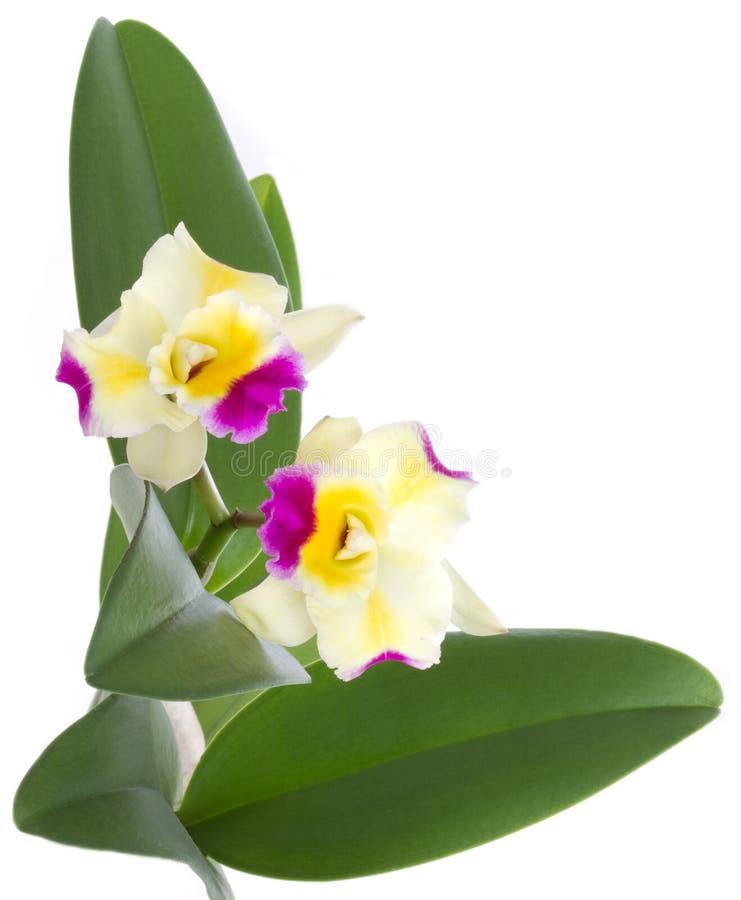 το λουλούδι cattleya ανθίζει orchid  στοκ φωτογραφίες