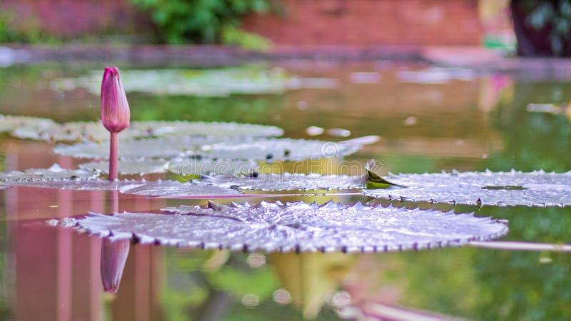 Το λουλούδι Lotus με βγάζει φύλλα και πορφυρά φυτά λουλουδιών λωτού, άνθη λουλουδιών λωτού κρίνων νερού στην αντανάκλαση του κήπο στοκ φωτογραφία με δικαίωμα ελεύθερης χρήσης