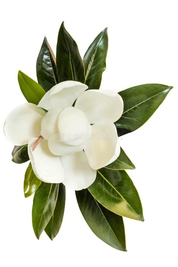 Το λουλούδι Magnolia απομονωμένο στο λευκό επάνω μέρος στοκ φωτογραφία με δικαίωμα ελεύθερης χρήσης
