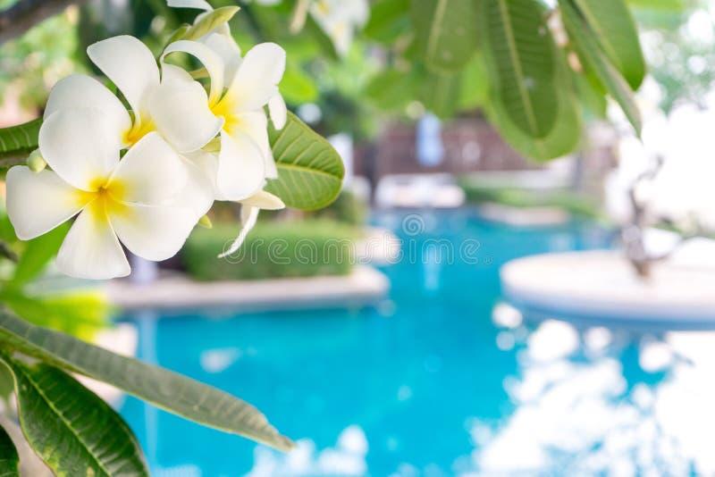Το λουλούδι Plumerias στο δέντρο, υπόβαθρο είναι πισίνα στοκ φωτογραφία