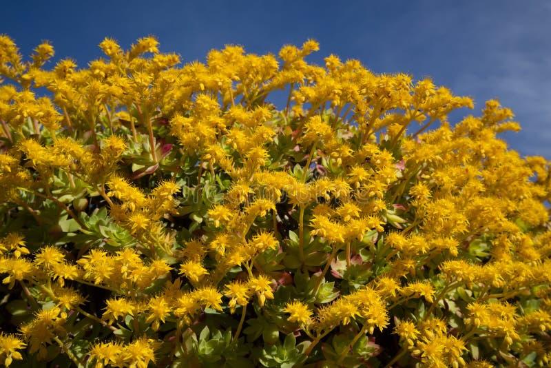 Το λουλούδι Sedum Palmeri στοκ εικόνες