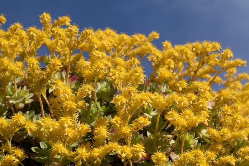 Το λουλούδι Sedum Palmeri στοκ φωτογραφία με δικαίωμα ελεύθερης χρήσης