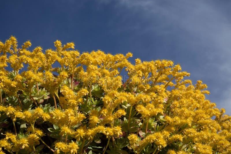Το λουλούδι Sedum Palmeri στοκ φωτογραφίες με δικαίωμα ελεύθερης χρήσης