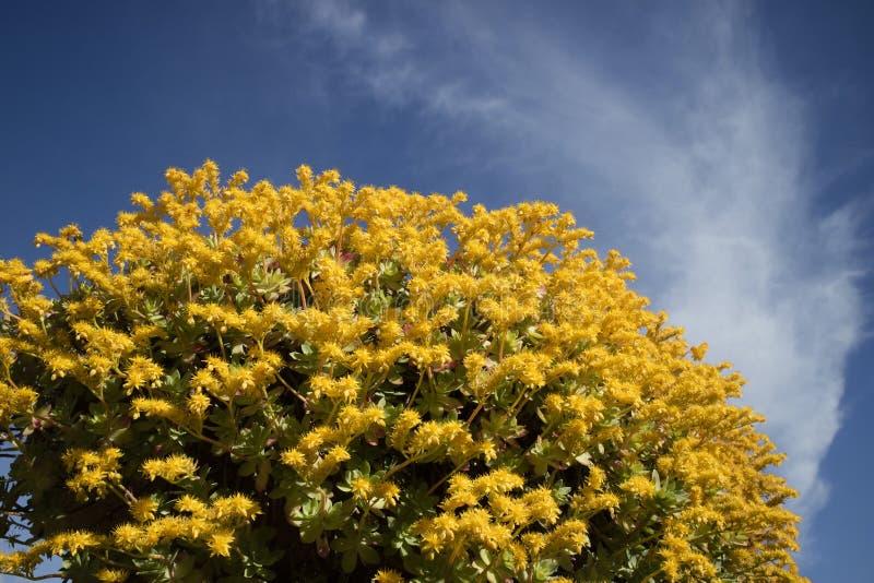 Το λουλούδι Sedum Palmeri στοκ εικόνες με δικαίωμα ελεύθερης χρήσης