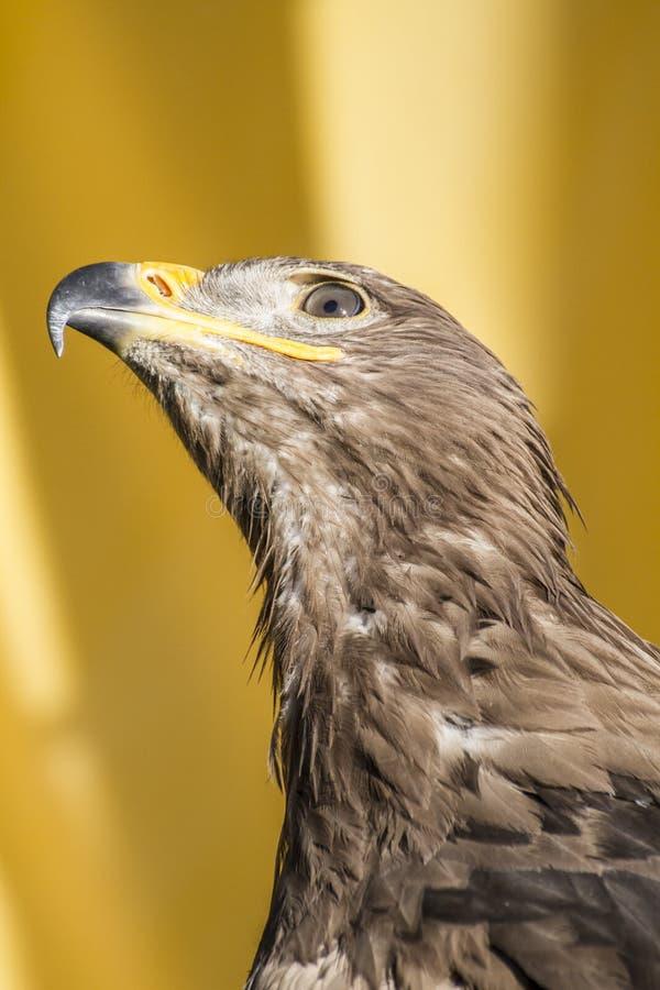Το μάτι, χρυσός αετός, λεπτομέρεια του κεφαλιού με τα μεγάλα μάτια, έδειξε το ράμφος στοκ φωτογραφίες