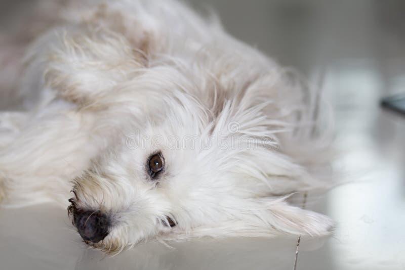 Το μάτι poodle του σκυλιού είναι νυσταλέο στοκ εικόνες με δικαίωμα ελεύθερης χρήσης
