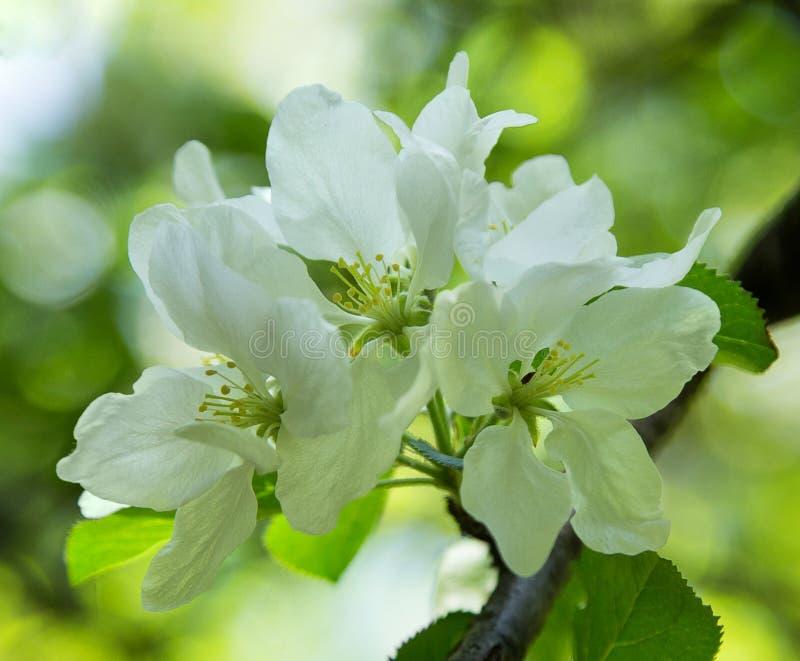 το μήλο ανθίζει λευκό στοκ φωτογραφία