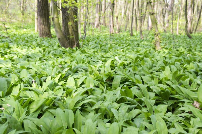 Το μαγικό σύνολο θέσεων φύσης των άγρια περιοχών αντέχει το σκόρδο, πράσινο υπόβαθρο φύλλων στοκ εικόνες με δικαίωμα ελεύθερης χρήσης