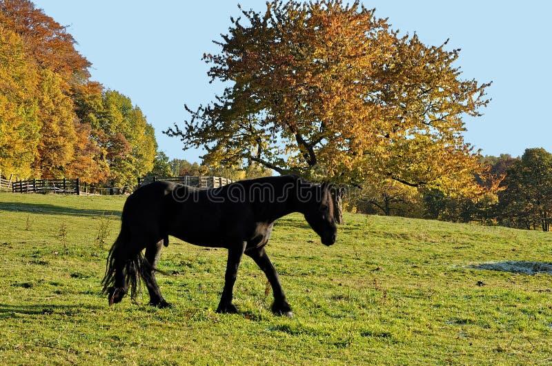 Το μαύρο άλογο περπατά μέσα στο φράκτη στοκ φωτογραφίες με δικαίωμα ελεύθερης χρήσης