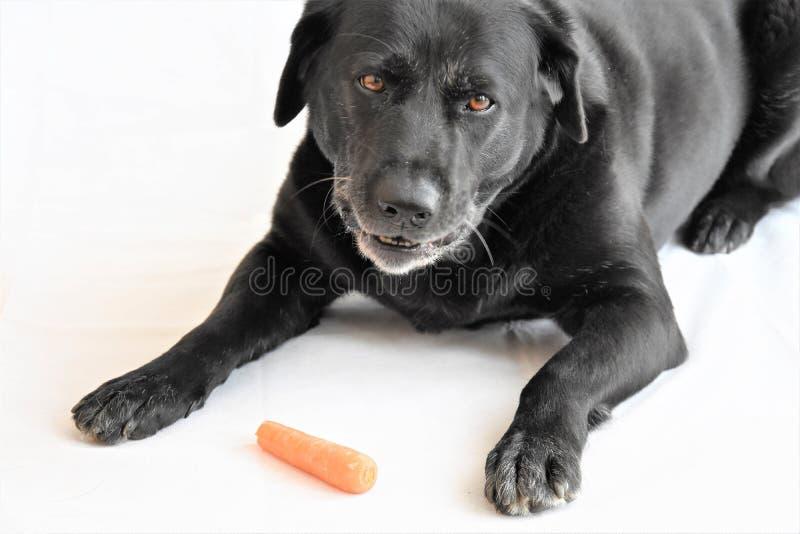 Το μαύρο μεγάλο σκυλί λέει ψέματα και τρώει ένα καρότο στοκ εικόνες με δικαίωμα ελεύθερης χρήσης