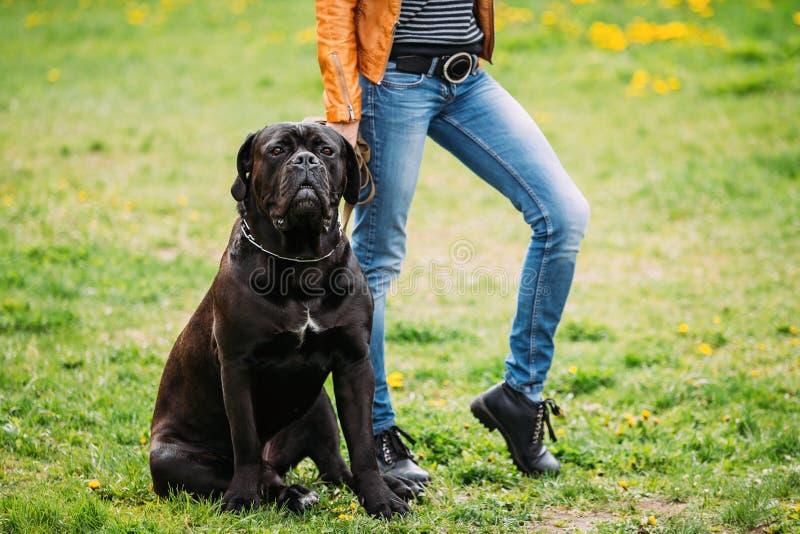 Το μαύρο νέο σκυλί Corso καλάμων κάθεται στην πράσινη χλόη υπαίθρια μεγάλο σκυλί στοκ εικόνες