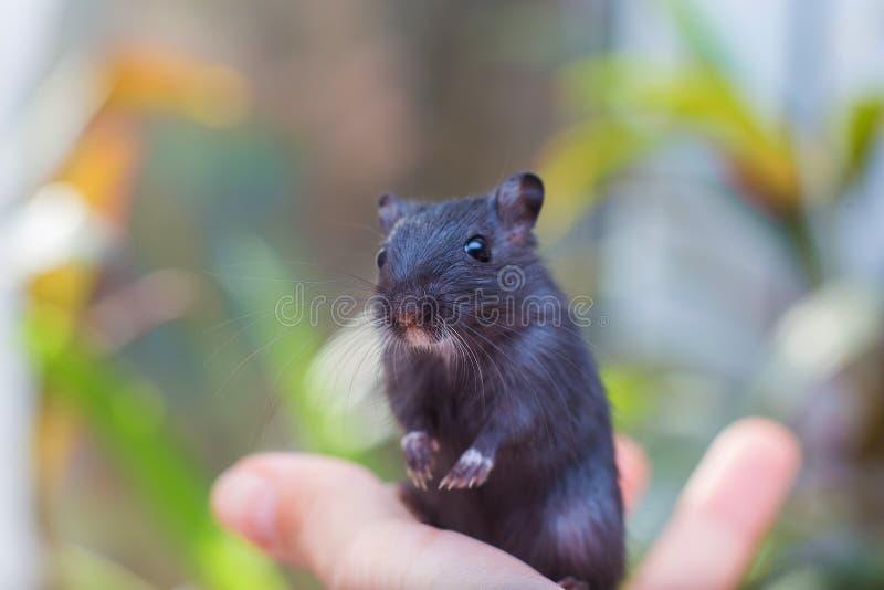 Το μαύρο ποντίκι gerbil κάθεται σε ετοιμότητα Κράτηση των όρων τρωκτικών στο εσωτερικό στοκ εικόνες με δικαίωμα ελεύθερης χρήσης