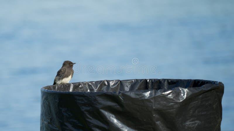 Το μαύρο πουλί της Phoebe που σκαρφαλώνει στα απορρίματα μπορεί στοκ εικόνες