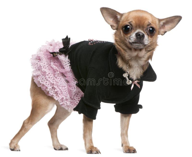 το μαύρο chihuahua έντυσε το ροζ στοκ εικόνα με δικαίωμα ελεύθερης χρήσης