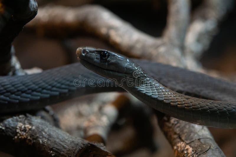 Το μαύρο mamba είναι ένα είδος εξαιρετικά δηλητηριώδους φιδιού στοκ φωτογραφίες με δικαίωμα ελεύθερης χρήσης