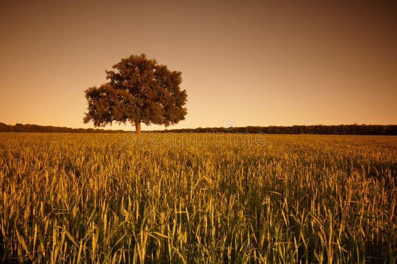 Το μεγάλο μόνο δρύινο δέντρο σε έναν πράσινο τομέα στο ηλιοβασίλεμα στοκ φωτογραφίες