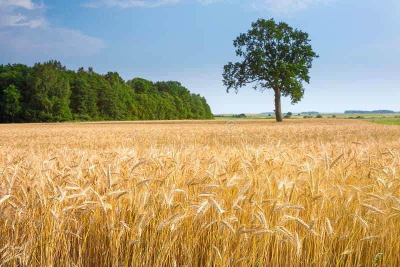 Το μεγάλο παλαιό δρύινο δέντρο γίνεται μόνο μόνο στον τομέα σίτου Ηρεμία και ηρεμία της αγροτικής ζωής Καλός θερινός καιρός Χρόνο στοκ εικόνα