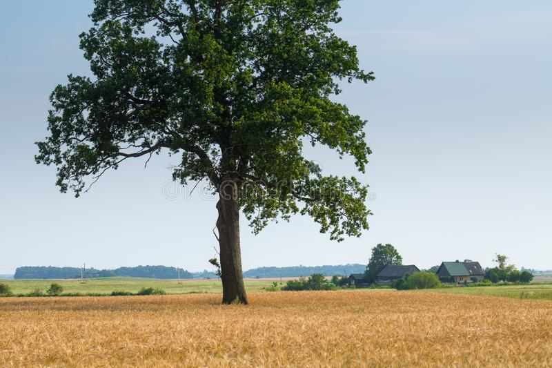 Το μεγάλο παλαιό δρύινο δέντρο γίνεται μόνο μόνο στον τομέα σίτου Ηρεμία και ηρεμία της αγροτικής ζωής Καλός θερινός καιρός Χρόνο στοκ εικόνες